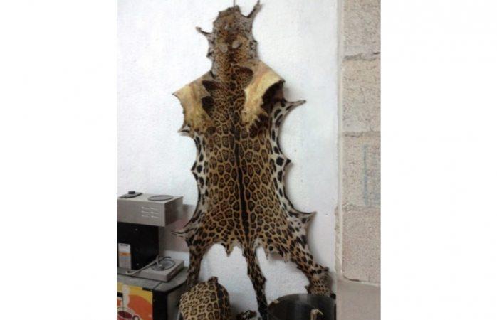 Realiza Profepa el mayor decomiso de pieles de jaguares en las últimas décadas