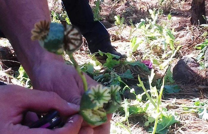 Destruyen dos plantíos de amapola en Guadalupe y Calvo