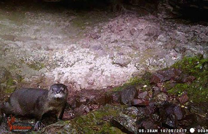 Obtiene Conanp primeras imágenes de nutria de río