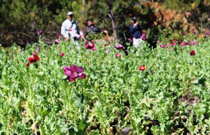 Destruyen 82 mil 800 plantas de amapola en Guadalupe y Calvo
