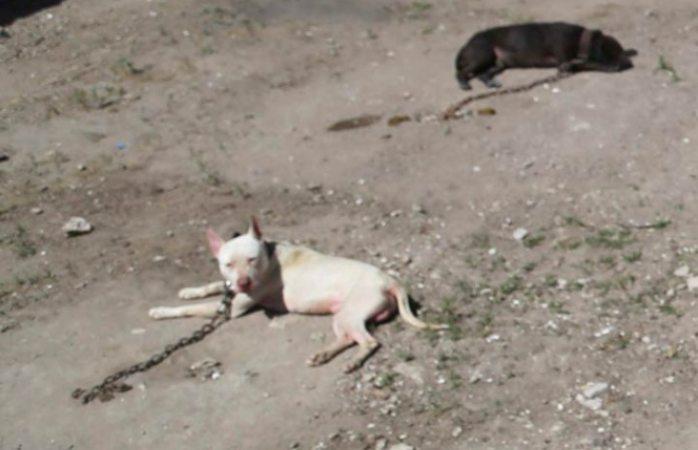 Muere niño tras ser atacado por perros pitbull en EdoMex