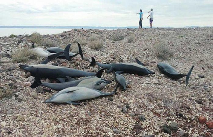 Mueren 21 delfines que quedaron varados en playa de La Paz