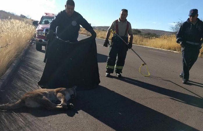 Arrollan a puma y lo abandonan en carretera de Aguascalientes