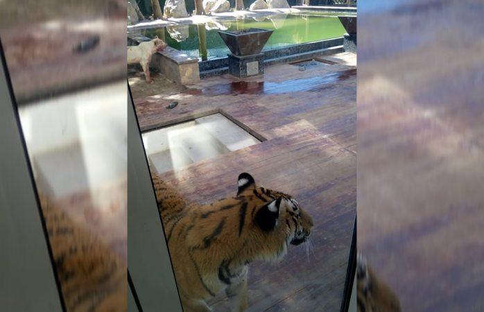 Autoridades aseguraron vivienda donde leona mordió a su dueño