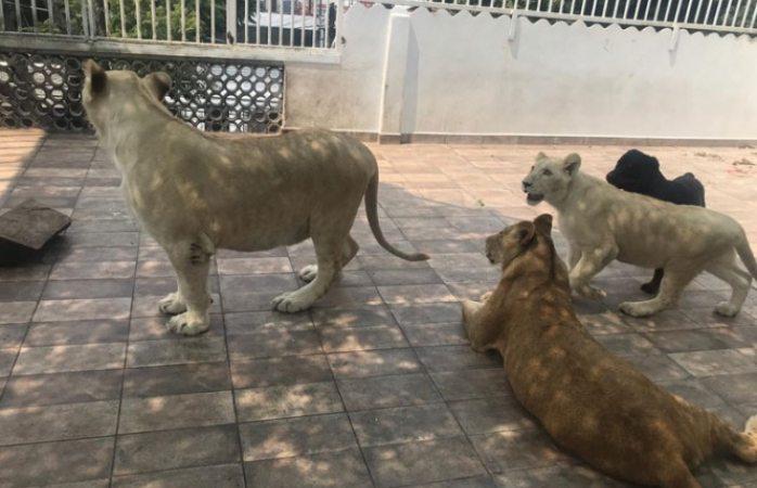 Tiene 3 leones en la azotea y papeles en regla