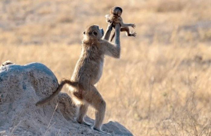 Mono babuino recrea escena de El Rey León
