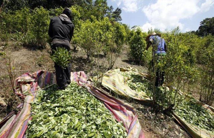 Rompe récord cultivo de coca en Colombia