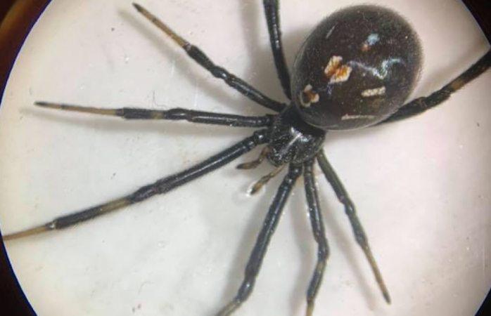 Hallan especies de arañas e insectos tóxicos en Juárez