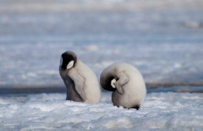 Cambio climático acabó con casi todas las crías de pingüinos emperador