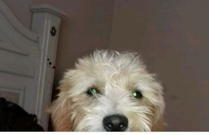 Buscan a perrito tipo french poodle