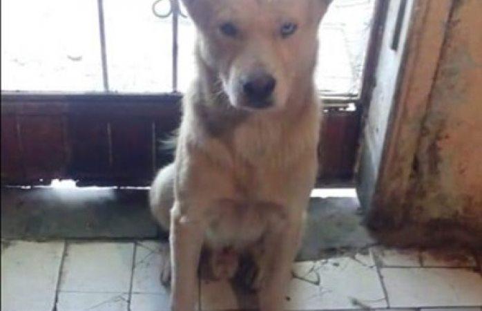 Piden apoyo para localizar al perrito lobo