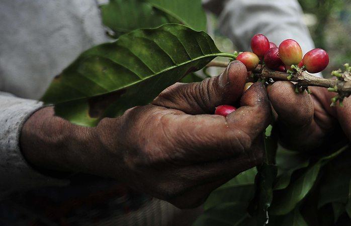 Más de la mitad del café silvestre podría extinguirse: estudio