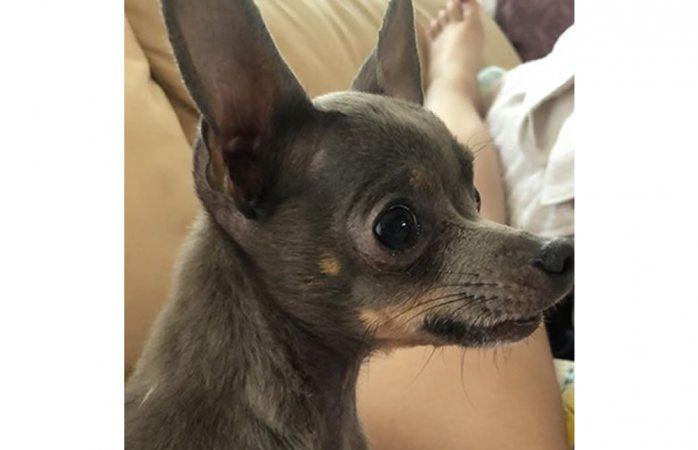 Buscan perrito chihuahua