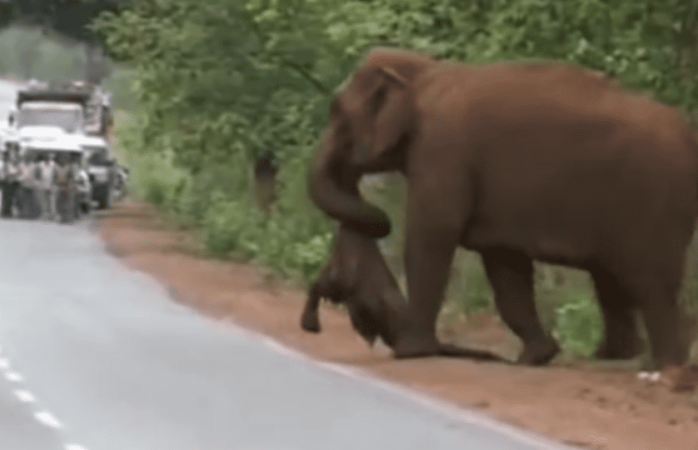 Madre elefante cargó con el cuerpo muerto de su cría
