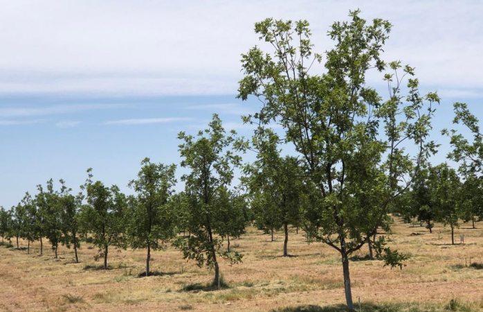 El boom de la nuez: siembran un millón de árboles en Sacramento