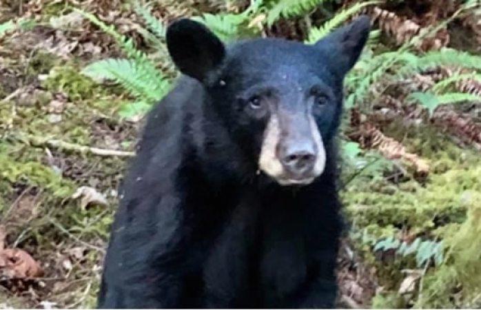 Sacrifican a oso negro por ser demasiado amigable con los humanos en EU