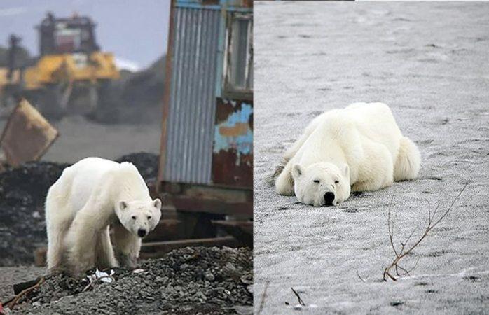 Oso polar moribundo llega hasta Rusia buscando comida (VIDEO)