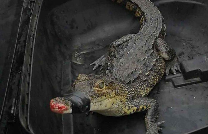 Atrapan a cocodrilo que salió de alcantarilla