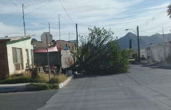 Reportan árbol caído en calles de la colonia revolución