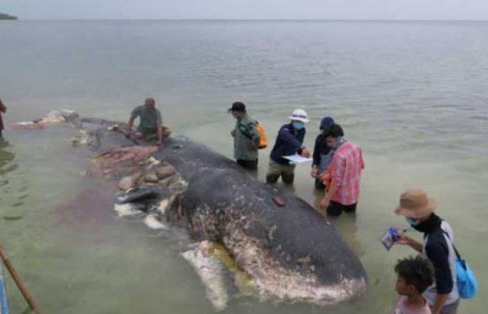 Hallan ballena muerta con 40 kilos de plástico en estómago
