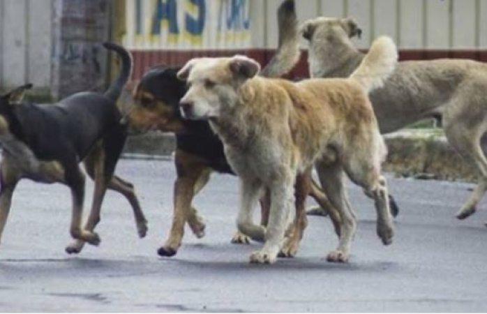Matan perros a borregos en La Cruz