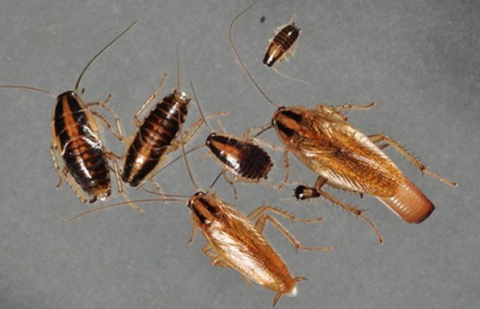 Es opción editar genéticamente a las cucarachas para exterminarlas