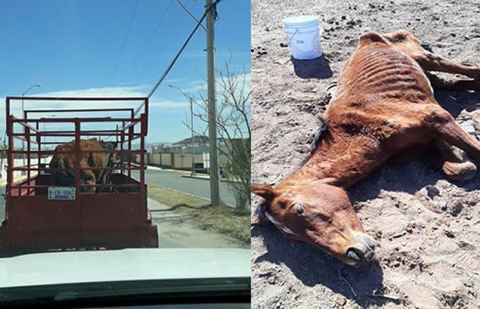 Solidario ciudadano rescata a caballo moribundo en el rejón