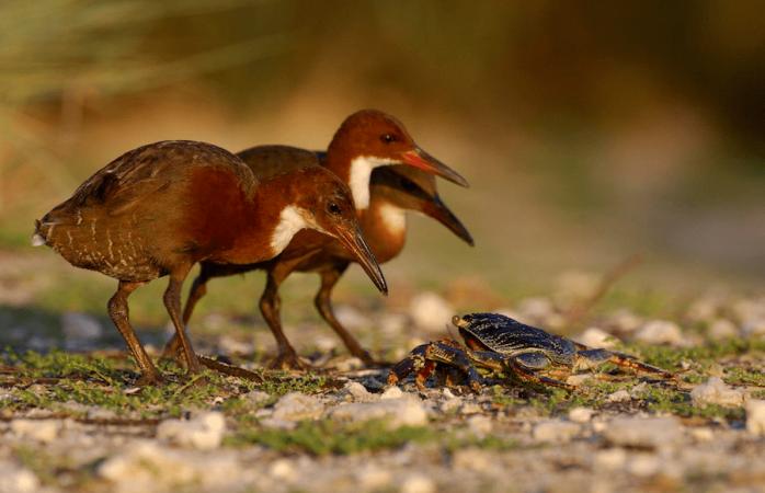 Reaparece un ave que se creyó extinguida hace 130.000 años