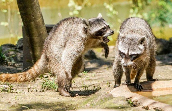 Emiten alerta por ataques de mapaches zombis en EU