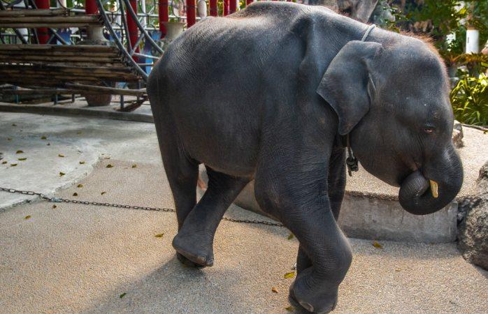 Muere elefante bebé que fue forzado a bailar en un zoológico