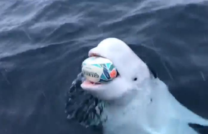 Ballega beluga se vuelve viral al jugar con un marinero