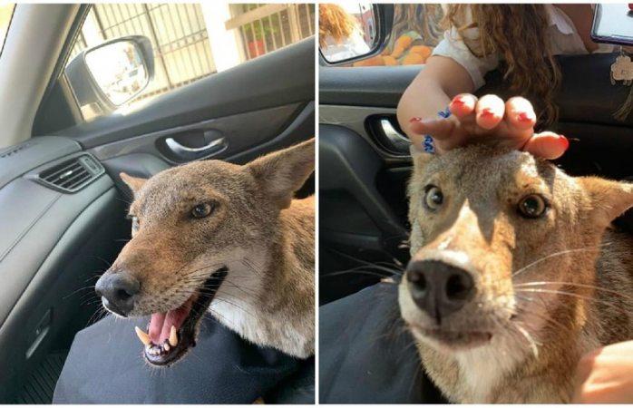 Murió Pancho, el coyote rescatado al que confundieron con un perro