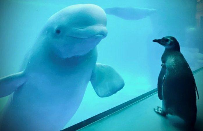 Pingüinos y belugas juegan en acuario cerrado por covid-19