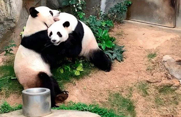 Pandas aprovechan cierre de zoológico para aparearse tras 10 años de intentos