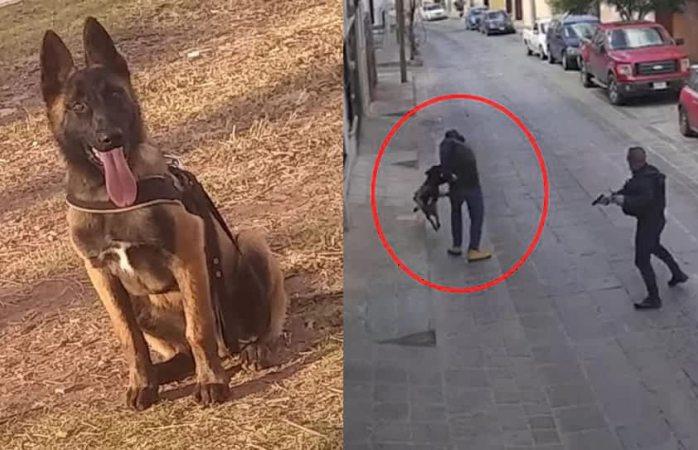 Apuñalan a perrito policía que intentó detener a uno