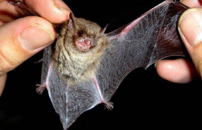 Aseguran que murciélagos no están vinculados con el coronavirus