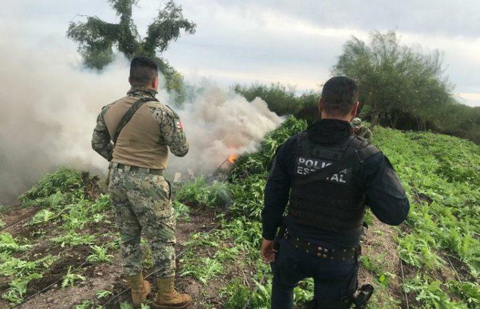 Erradica Semar plantíos de amapola y mariguana en Sinaloa