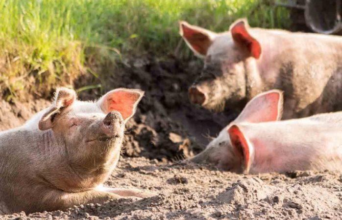 Reportan misteriosa muerte de más de 100 cerdos en Indonesia