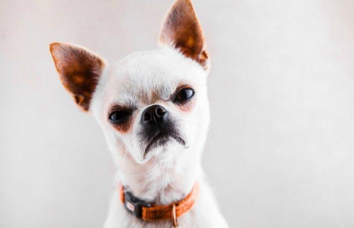 Los chihuahua sí son más agresivos que los pitbull, revela estudio