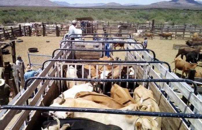 Confiscan 96 cabezas de ganado en un rancho de jiménez por robo