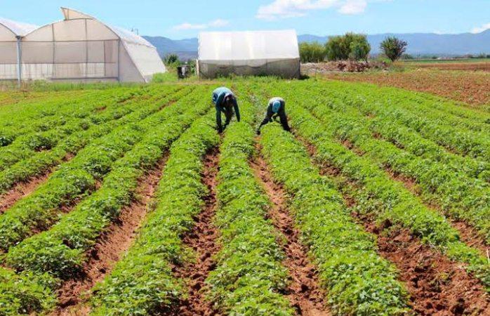 Baja siembra de tomate en la región