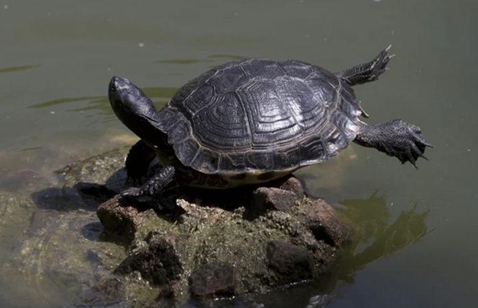 Muere bebé luego de tomar sangre de tortuga que le dio brujo para covid-19