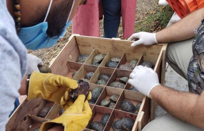 Trasladan a casi diez mil tortugas rescatadas en el aicm