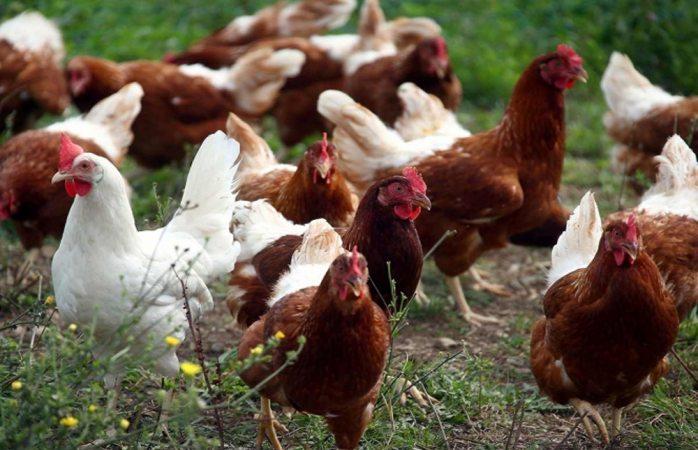 Sacrifican 190 mil gallinas y pollos por gripe aviaria