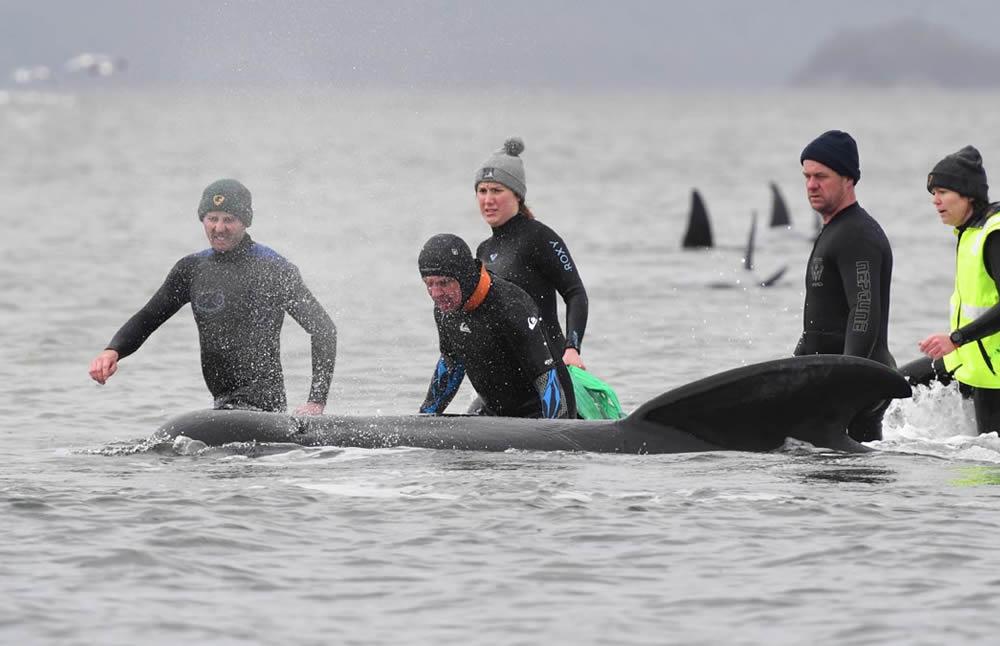 Cientos de ballenas quedaron varadas en un banco de arena — Australia
