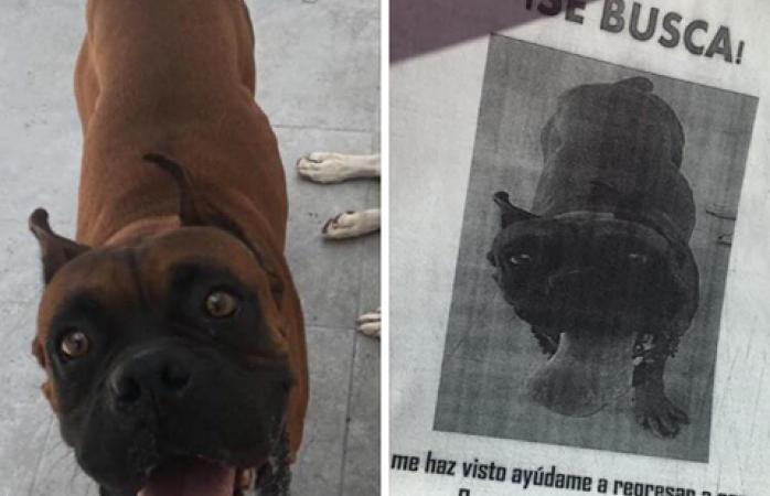 Ofrecen recompensa por perro bóxer extraviado